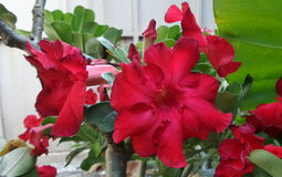 Absolute red Desert Rose Stock Images