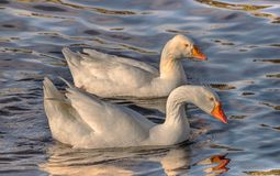 Absolute stunning white Goose. The shear beauty of the Great White Goose.  The two gooses are swimming on the Tuckerton Seaport creek on a sunny winter morning royalty free stock images