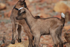 Absolutely Adorable Balancing Baby Goat on a Rock Royalty Free Stock Photography