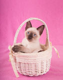 Absolutely adorable Siamese kitten in an off white basket. Looking up, with a pink background royalty free stock photos