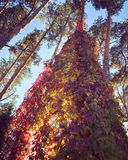 An absolutely beautiful collection of autumn leaves on a pine tree. A tree in the autumn or fall sun is lit up and shows many wondrous colors Stock Photo