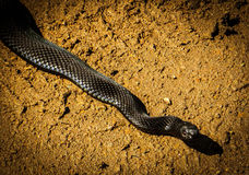 Absolutely black snake on the road in summer. Absolutely black snake Nicolskogo on the road in summer Royalty Free Stock Image