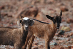 Absolutely Cute Pair of Two Baby Goats. Cute pair of baby goats standing together in Aruba stock images