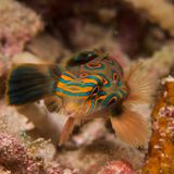 Stunning close-up of picturesque dragonet Stock Images