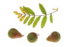 Absorbeer boom (domestica Sorbus) royalty-vrije stock foto's