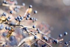 Abstact blu della bacca dell'albero Immagine Stock