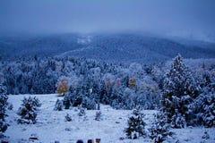 Abstauben des Schnees auf Kiefern und Espen der Jahreszeit lizenzfreie stockbilder