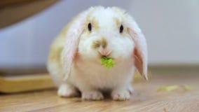 Abstehendes Ohr-kleines rotes und weißes Farbkaninchen, 2 Monate alte, grünes Blatt kauend - Tiernahrung und Haustierkonzept stock video