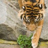 Absteigender Tiger Lizenzfreie Stockfotos