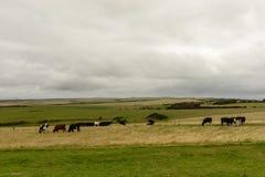 Abstiege mit den Kühen, die nahe Eastbourne weiden lassen stockbilder