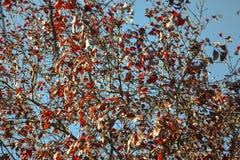 Abstrac filialer och röda sidor på en blå bakgrundshimmel Fotografering för Bildbyråer
