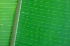 Abstracción de la hoja del plátano Fotografía de archivo libre de regalías