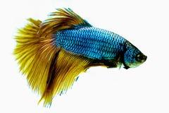 Abstrack tillfångatagande den rörande fisken för ögonblickssiam stridighet Arkivbilder