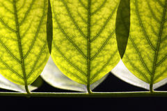 Abstract acacia leaves background Royalty Free Stock Images