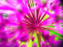 Abstract Allium. Looking past the flowers of a purple Allium, on a bright sunny day,to the center.Dark shadows produce a rather hectic effect Royalty Free Stock Photos