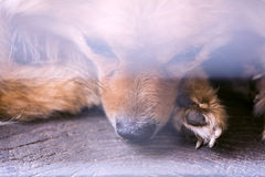 Abstract animal background,close up pity brown pomeranian Stock Photo