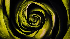 Abstract animation of spinning yellow rose bud. Beautiful animation. vector illustration