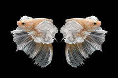 Abstract art movement of colourful Betta fish Stock Image