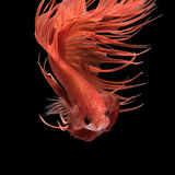 Abstract art movement of colourful Betta fish Stock Photo