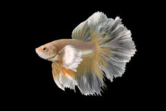 Abstract art movement of colourful Betta fish Stock Photos