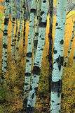 Abstract aspen trees Royalty Free Stock Images