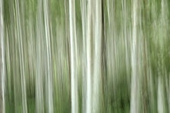 Abstract Aspens Royalty Free Stock Image