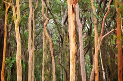 Abstract Australian Eucalyptus forest background. Abstract Australian Eucalyptus and Angophora forest background. Digital illustration, soft focus Stock Images