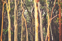 Abstract Australian Eucalyptus forest background. Abstract Australian Eucalyptus and Angophora forest background. Digital illustration, soft focus Royalty Free Stock Photography