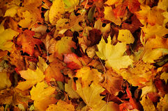 Abstract autumn background. Colorful leaves red and yellow Stock Image