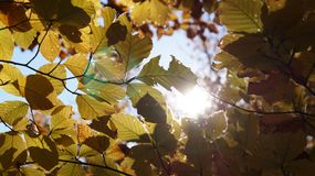 Abstract autumn background with leaves and sun light. Yellow leaves, blue sky and the sun that passes through the tree branches royalty free stock image
