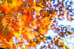 Abstract autumn background, old orange leaves, dry tree foliage, soft focus, autumnal season, changing of nature, bright sunlight Stock Images