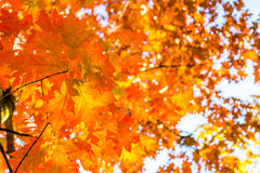 Abstract autumn background, old orange leaves, dry tree foliage, soft focus, autumnal season, changing of nature, bright sunlight Royalty Free Stock Image
