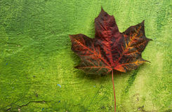 Abstract Autumn leaf on green wall Stock Images