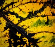 Abstract autumn leaf texture Royalty Free Stock Photography