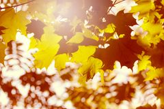 Abstract autumn leaves with bright light. Abstract autumn leaves. Beautiful bright background Royalty Free Stock Photo