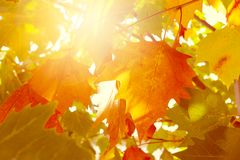 Abstract autumn leaves with bright light. Abstract autumn leaves. Beautiful bright background Royalty Free Stock Photos
