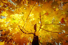 Abstract autumn nature background with maple tree leaves Stock Photography