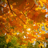 Abstract autumn nature background with maple tree leaves Royalty Free Stock Image