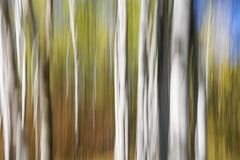 Abstract autumn poplar forest composition Stock Photos
