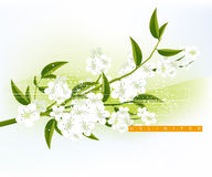Abstract Background. Apricot and Cherries blossoms Illustration Royalty Free Stock Photo