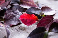 Abstract background of autumn leaves in purpleand red colours Stock Photos