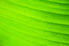 Abstract background  of banana leaf texture blur Royalty Free Stock Images