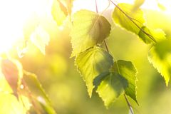 Abstract background - birch leaves in rays of sunlight. Abstract background - birch leaves in the rays of sunlight Stock Photos