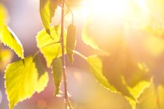 Abstract background - birch leaves in rays of sunlight. Abstract background - birch leaves in the rays of sunlight Royalty Free Stock Photos