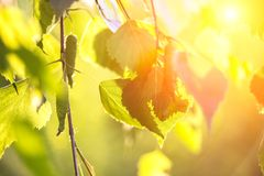 Abstract background - birch leaves in rays of sunlight. Abstract background - birch leaves in the rays of sunlight Royalty Free Stock Image