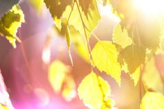 Abstract background - birch leaves in rays of sunlight. Abstract background - birch leaves in the rays of sunlight Royalty Free Stock Photography