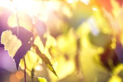 Abstract background - birch leaves in rays of sunlight. Abstract background - birch leaves in the rays of sunlight Stock Photography