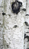 Abstract background birches Royalty Free Stock Image