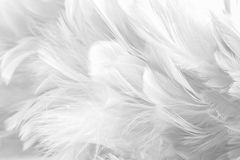 Abstract background Bird and chickens feather texture ,blur style and soft color of art design.  stock photography