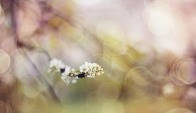 Abstract background with branch of the blossoming bird cherry. Royalty Free Stock Photos